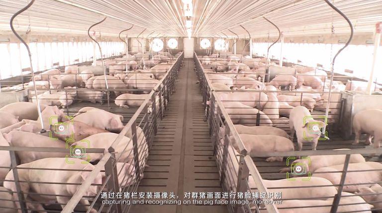 El sistema identifica los cerdos en el criadero