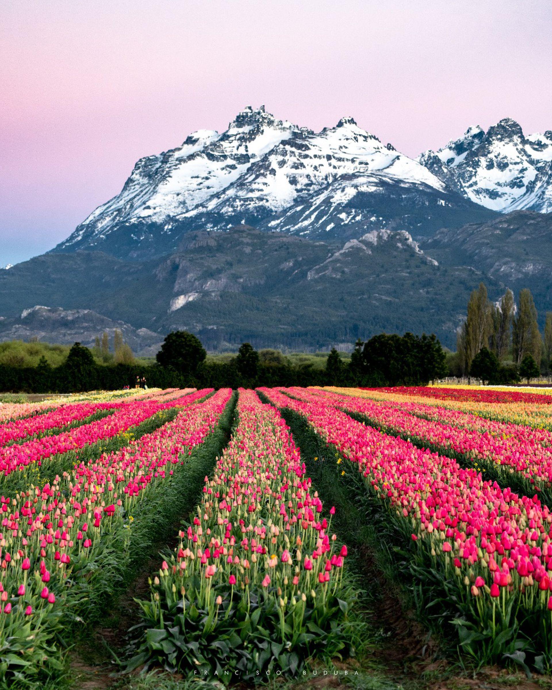 El horario de visita al campo de tulipanes es de 10 a 19 y no hace falta hacer reservas