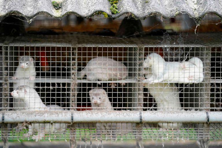 Los criaderos de visones son un negocio de millones de euros en Dinamarca