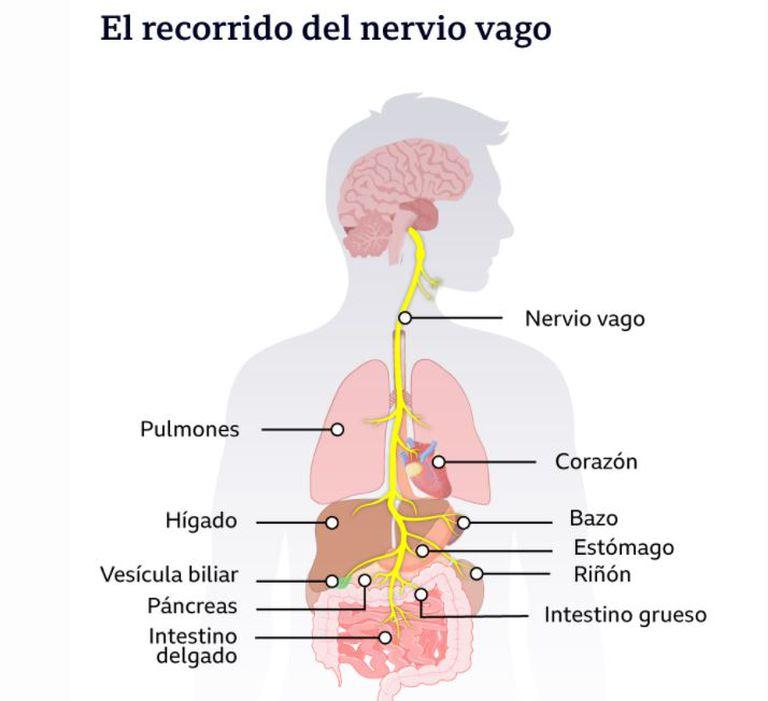 El recorrido del nervio vago