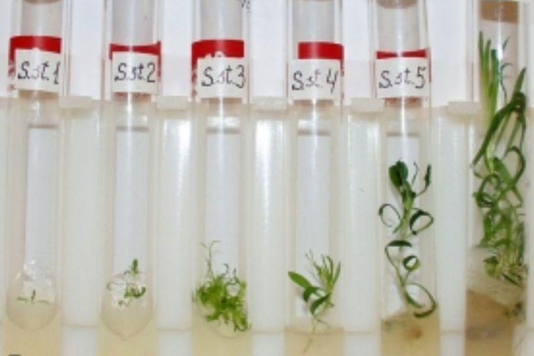 Los científicos utilizaron la tecnología de clonación para extraer el material genético de las vainas antiguas y como resultado pudieron criar 36 plantas