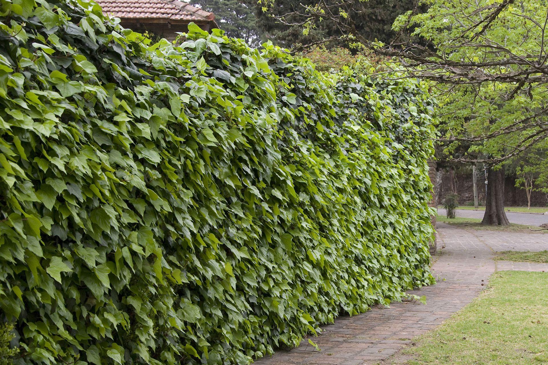 En uno de sus usos más clásicos: la hiedra  que tapa muros.