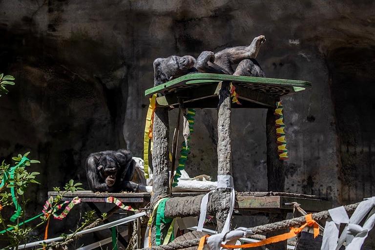 Kangu y Sasha, los últimos chimpancés del Ecoparque porteño