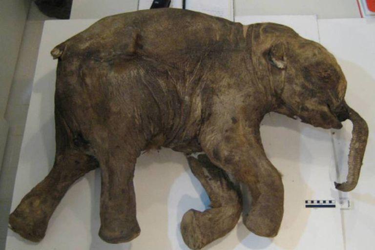 El permafrost de la península de Yamal, en Siberia, permitió que el cuerpo de Lyuba permaneciera casi intacto por casi 42.000 años