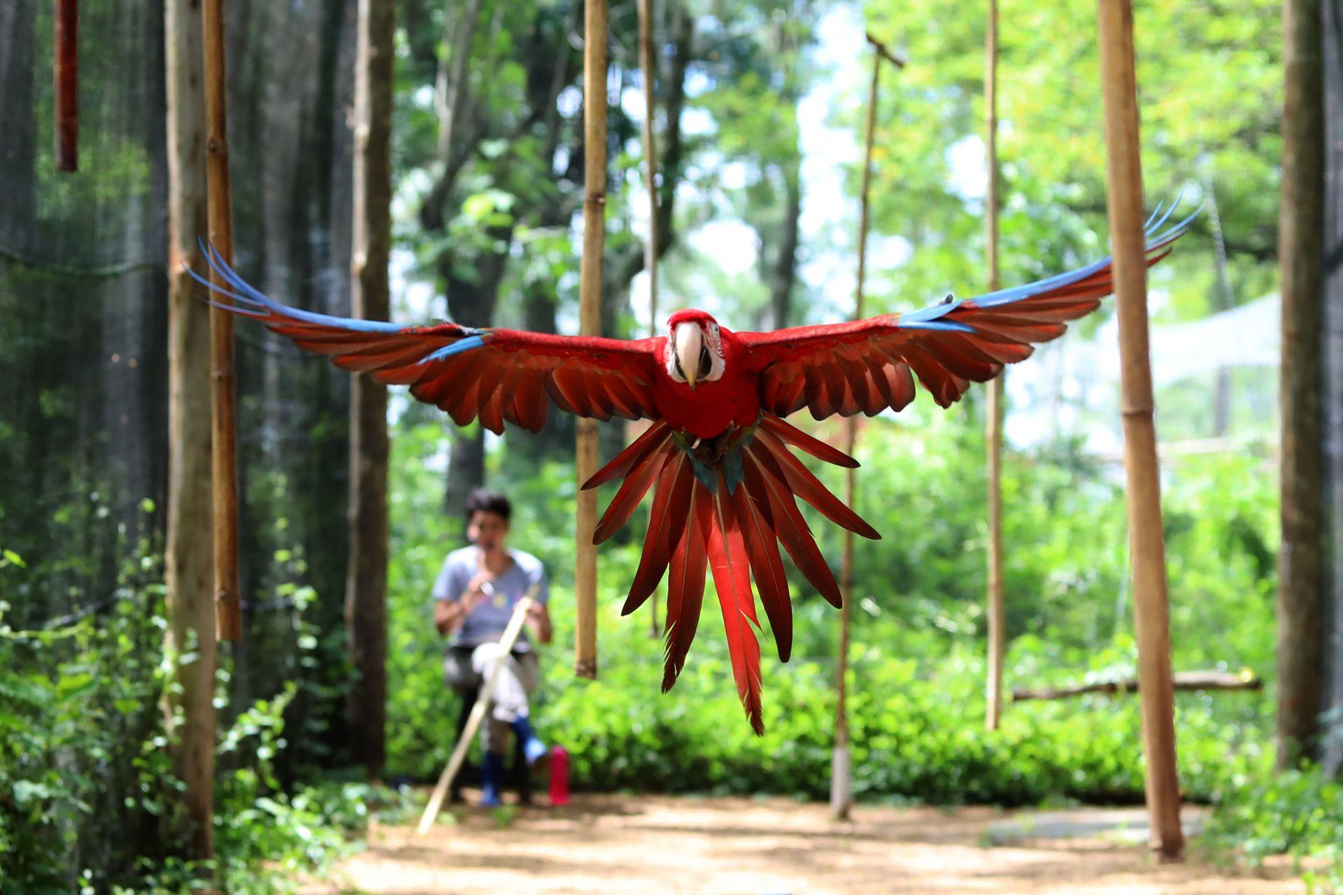 A los guacamayos nacidos en cautiverio hay que enseñarles a volar