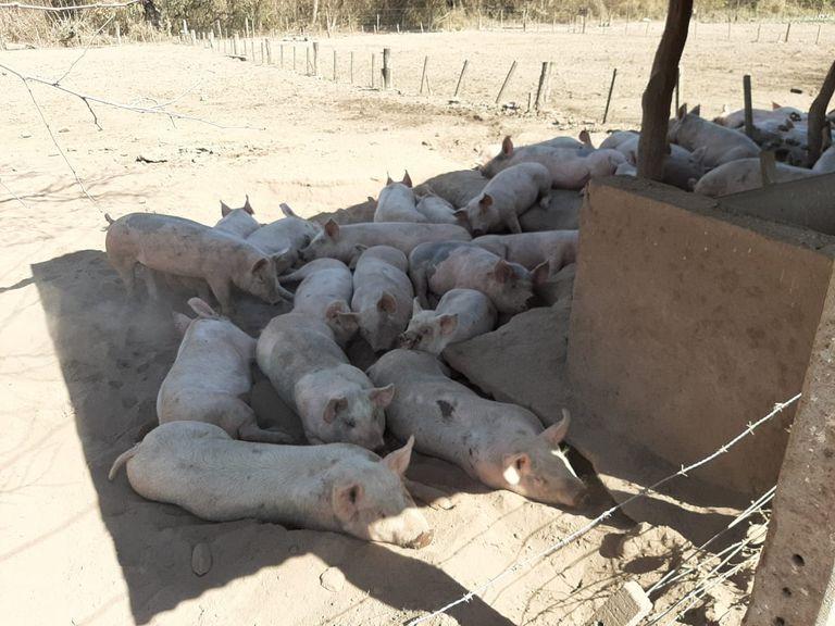 Del tabaco al cerdo: invierten $120 millones en un clúster porcino en Tucumán