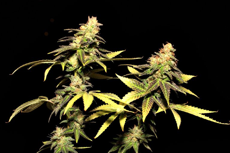 Una ONG y el INTA comenzarán a cultivar cannabis con fines medicinales