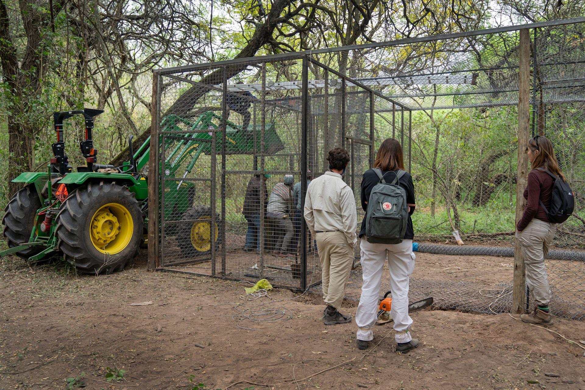 La jaula que se construyó en tres días para alojar a la hembra señuelo.