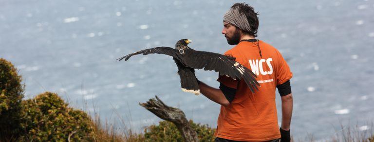 El biólogo que viaja al fin del mundo para salvar a un ave en peligro extinción