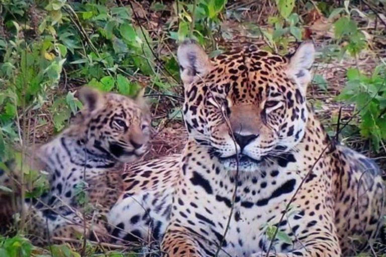 La recuperación de los yaguaretés forma parte de los proyectos impulsados por el Parque.