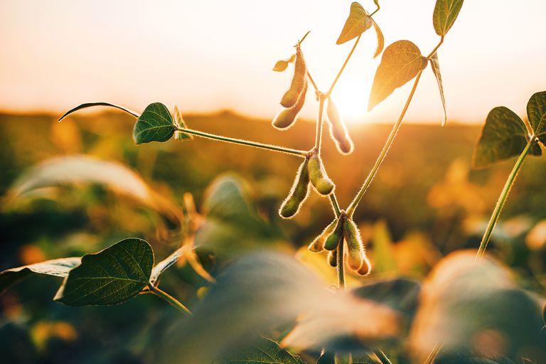 Hay cultivos que quedaron afectados por la falta de agua en parte del ciclo