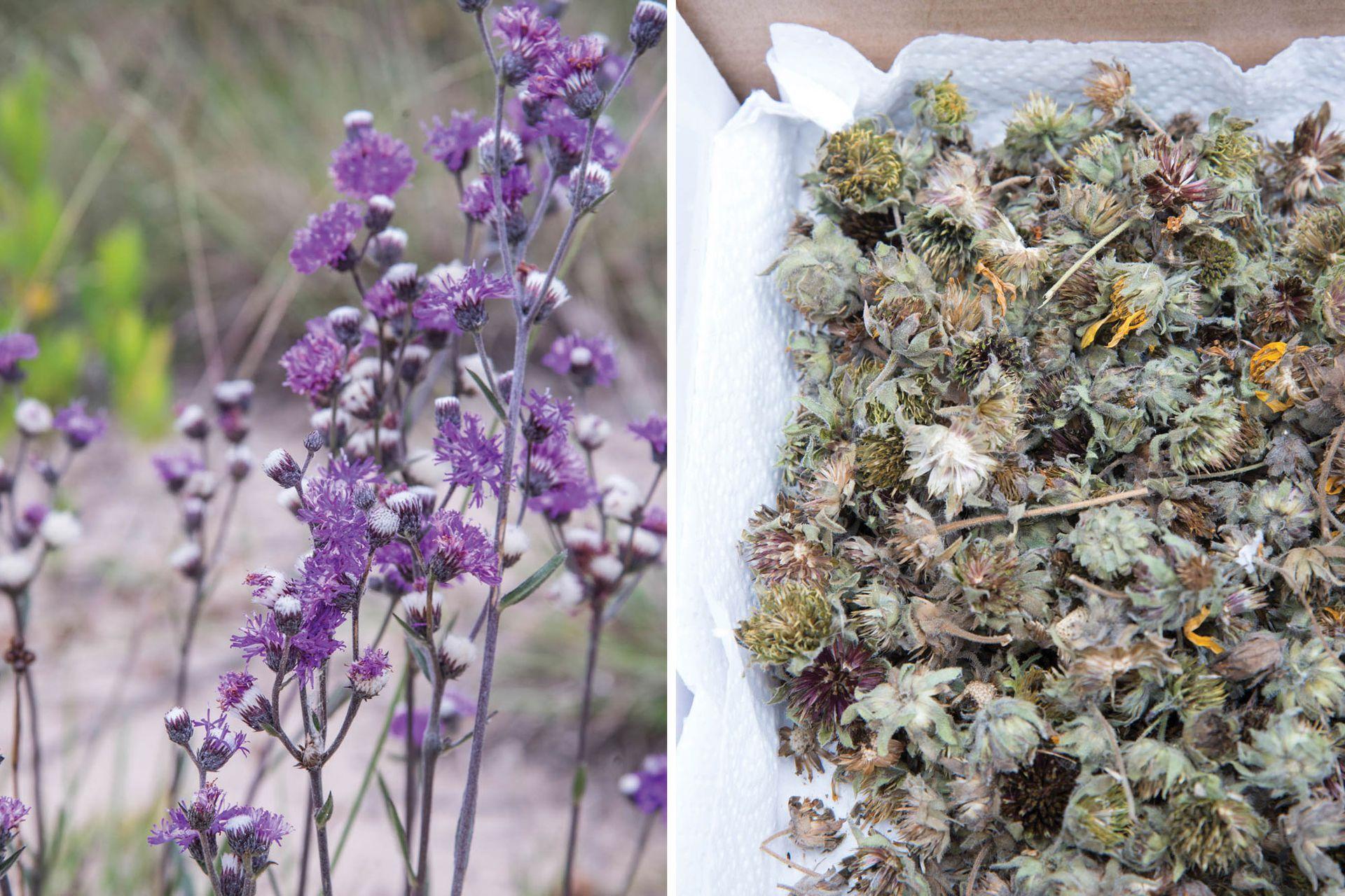 La cosecha debe realizarse sin depredar la naturaleza, siempre dejando semillas en las plantas y recolectando de distintos lugares.