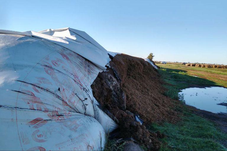 Le rompieron 10 silobolsas con alimento para las vacas: perderá $2,5 millones