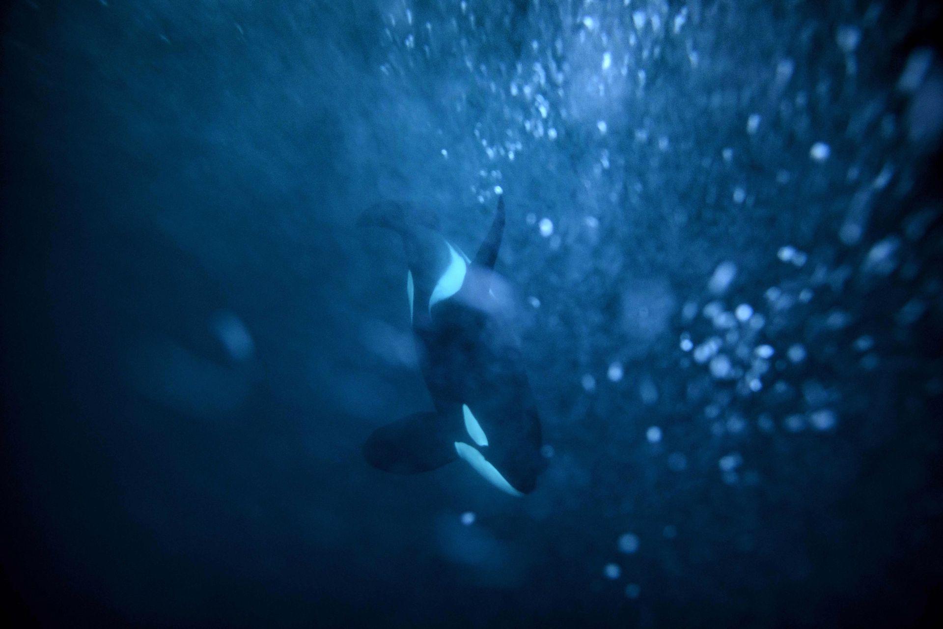 Una orca hembra atrapa un arenque, el 14 de enero en el mar de Noruega, en el Círculo polar ártico
