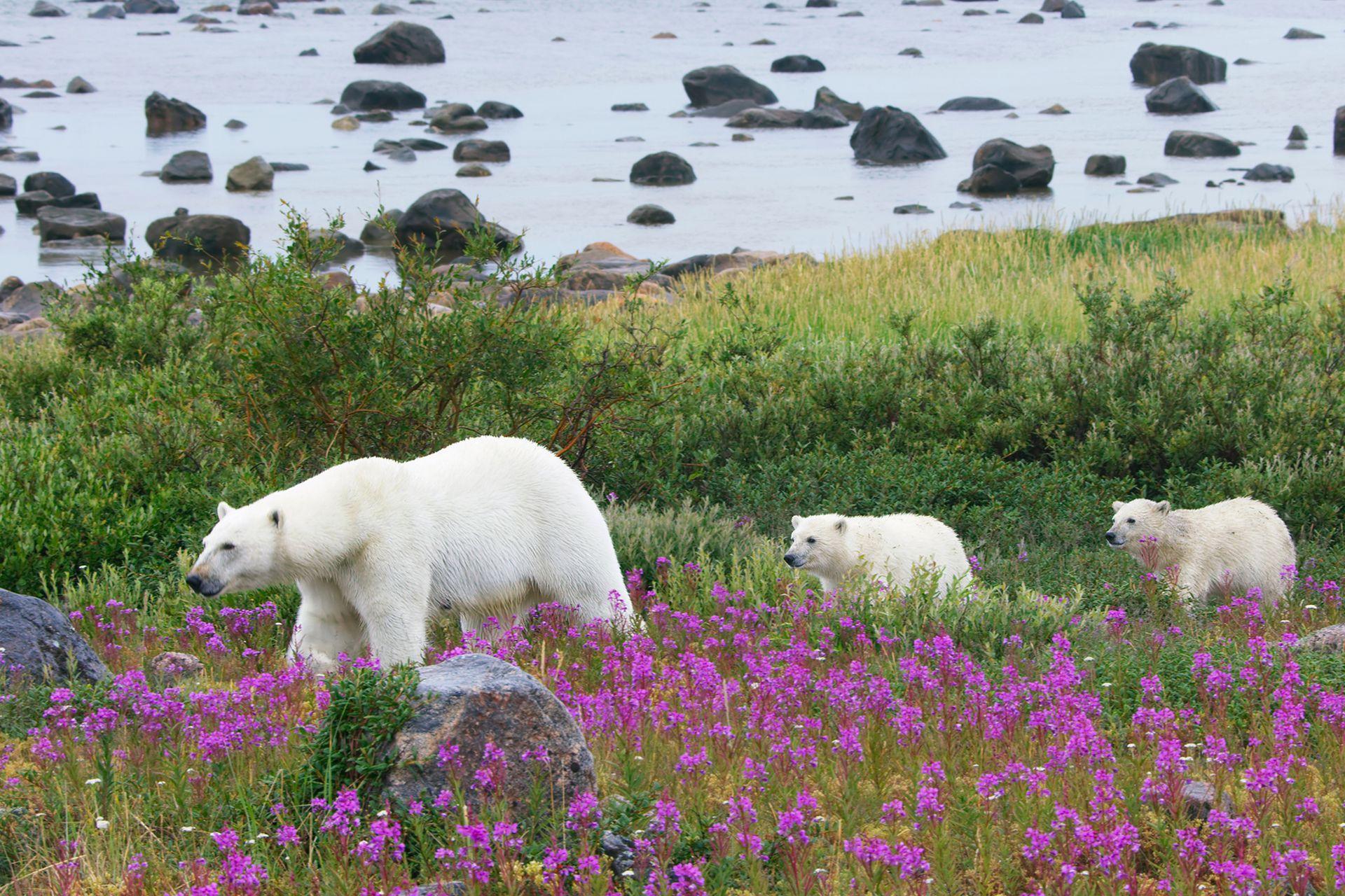 Durante el verano, sin hielo para poder cazar, los osos polares están restringidos a las costas de la Bahía de Hudson en Canadá