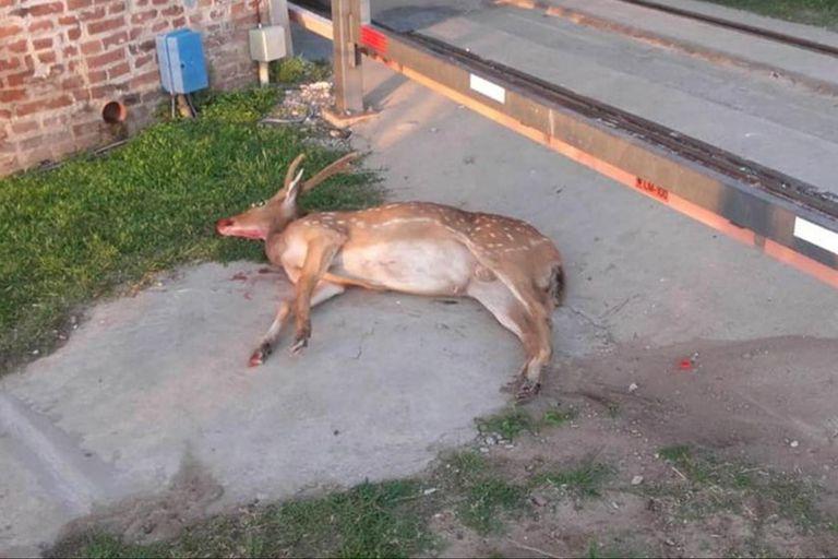 El animal, que había irrumpido en un boliche del barrio de Pichincha, apareció muerto hoy en otro sector de Rosario