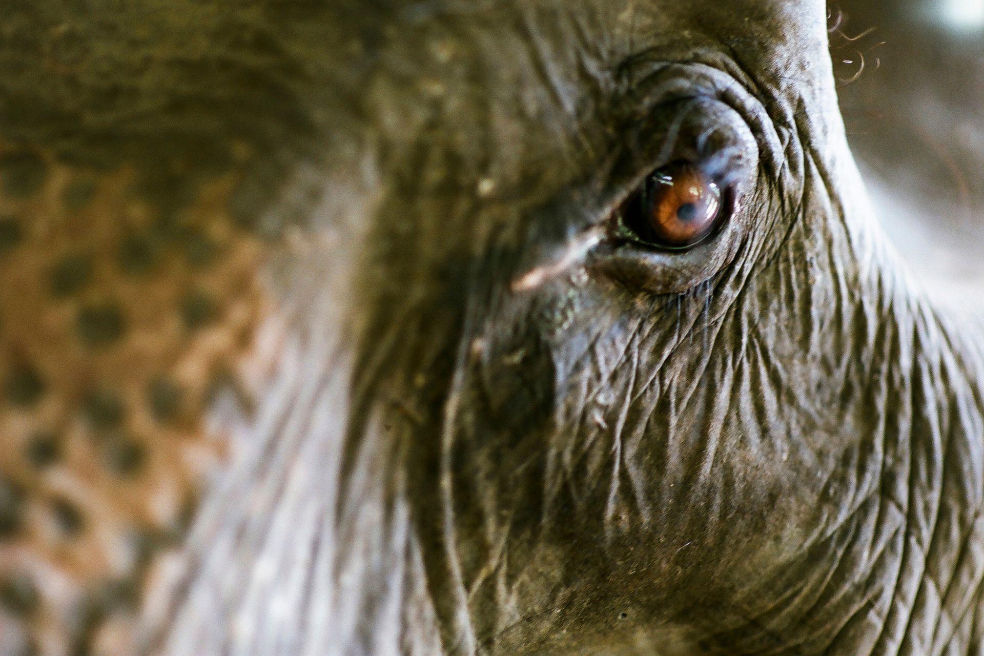 Todos los elefantes en cautiverio tienen algo en común: han sido víctimas de maltratos y abusos por parte de los humanos