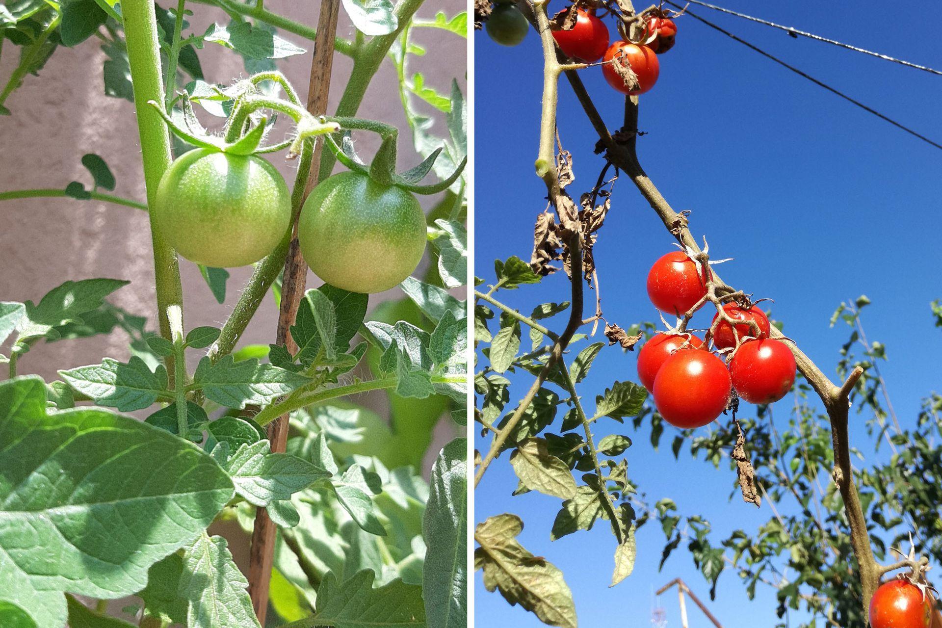 El cultivo de tomates es uno de los más sencillos de tener en la huerta hogareña. Las plantas necesitan seis horas de sol y riego abundante, aunque no demasiado frecuente.
