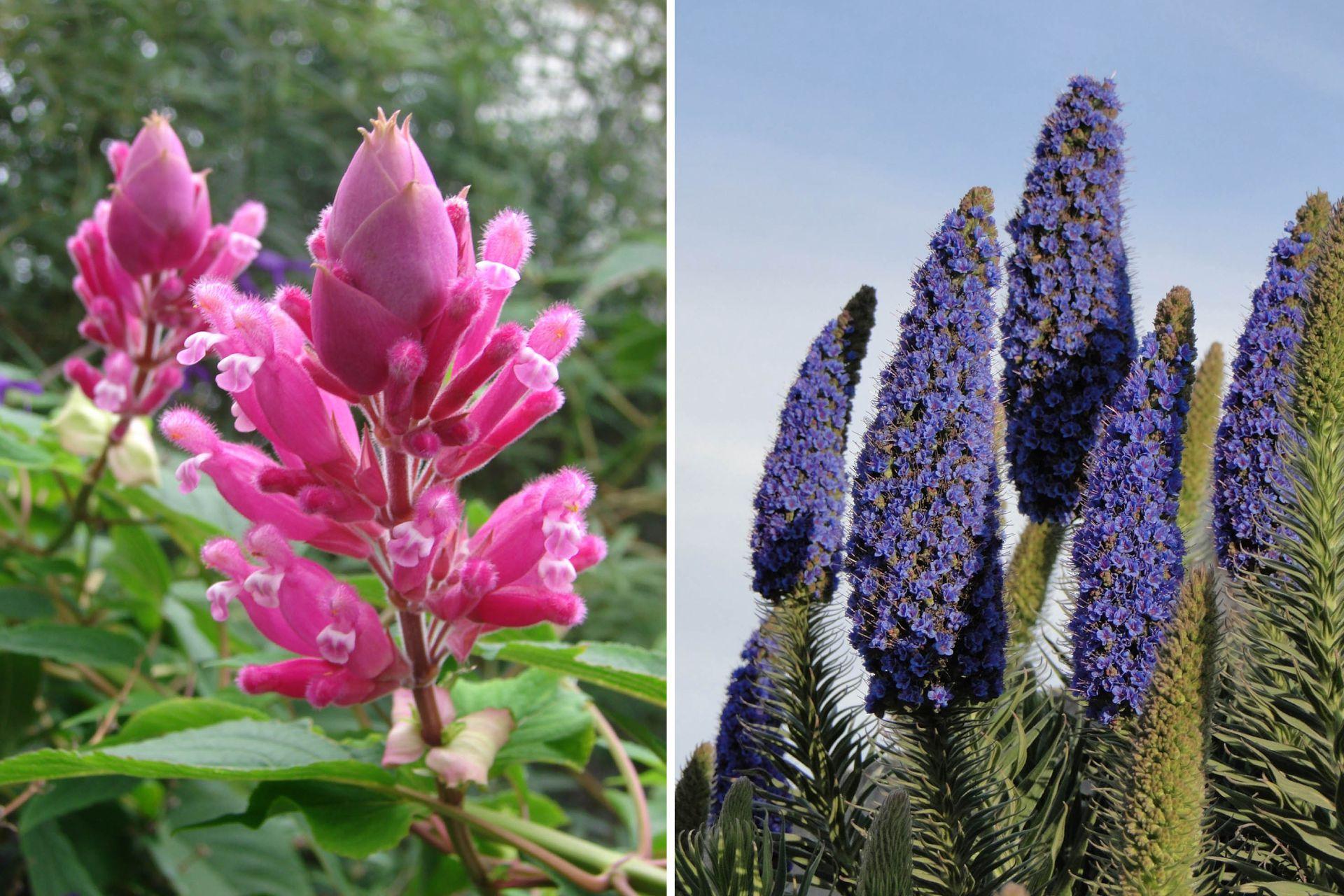 Izq.: Salvia involucrata o coral de invierno. Der.: Echium candicans.