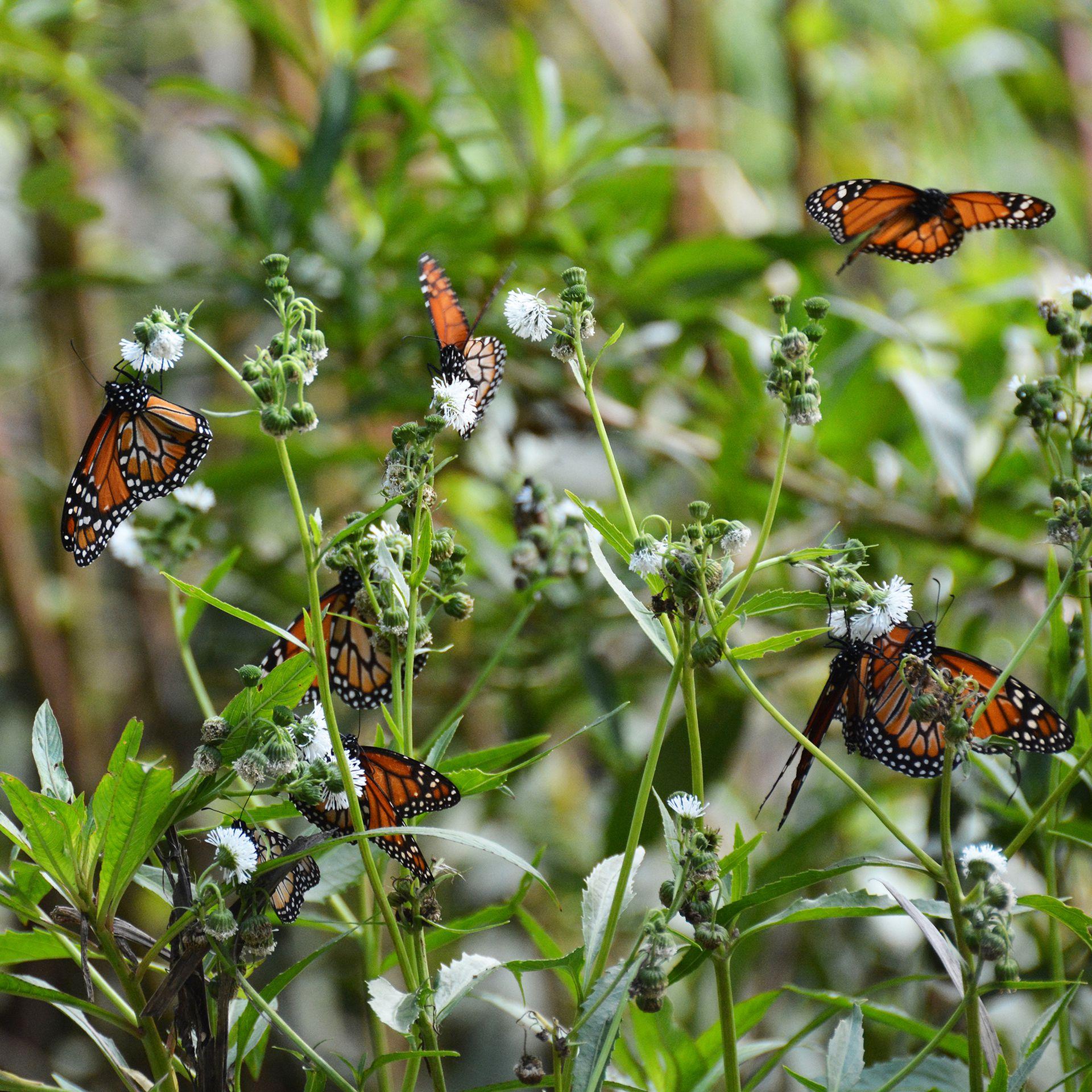 Enjambre de mariposas monarca del sur en la Reserva Ecológica Costanera Sur