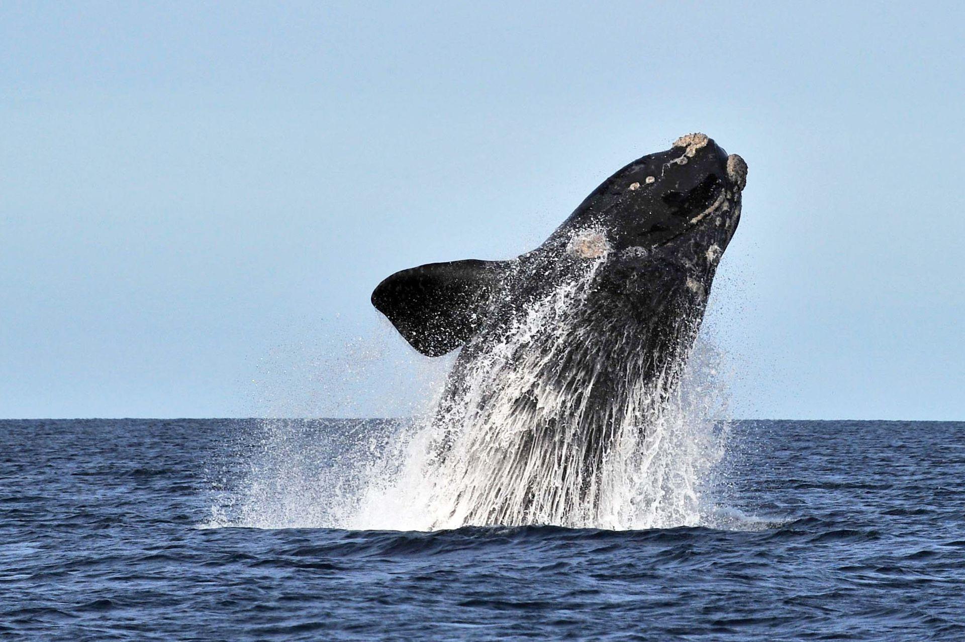 Un gran salto de una ballena franca en las aguas de Península Valdés