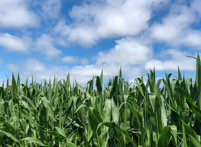El maíz, un cultivo clave