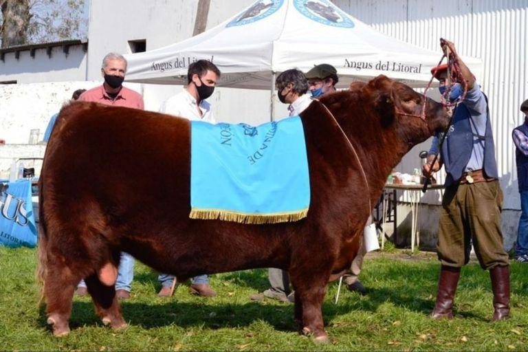 El toro cuando se consagró Gran Campeón Macho en la Expo Litoral