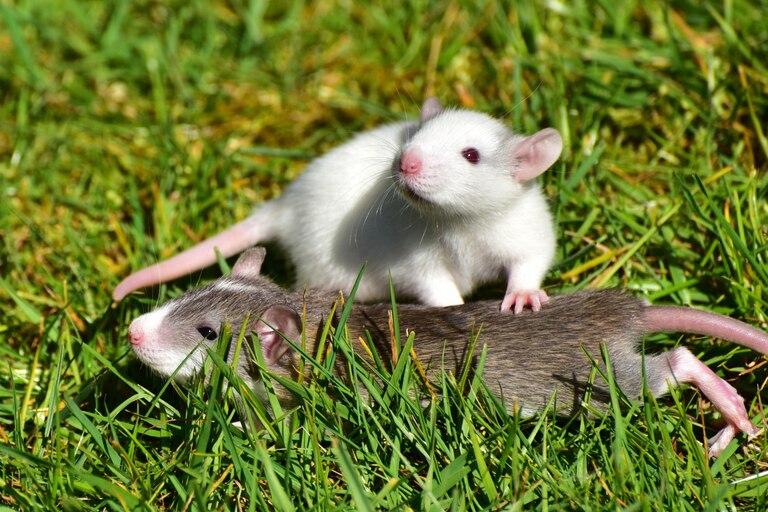 Soñar con ratas por lo general tiene connotaciones negativas ya que las asocia a la transmisión de enfermedades
