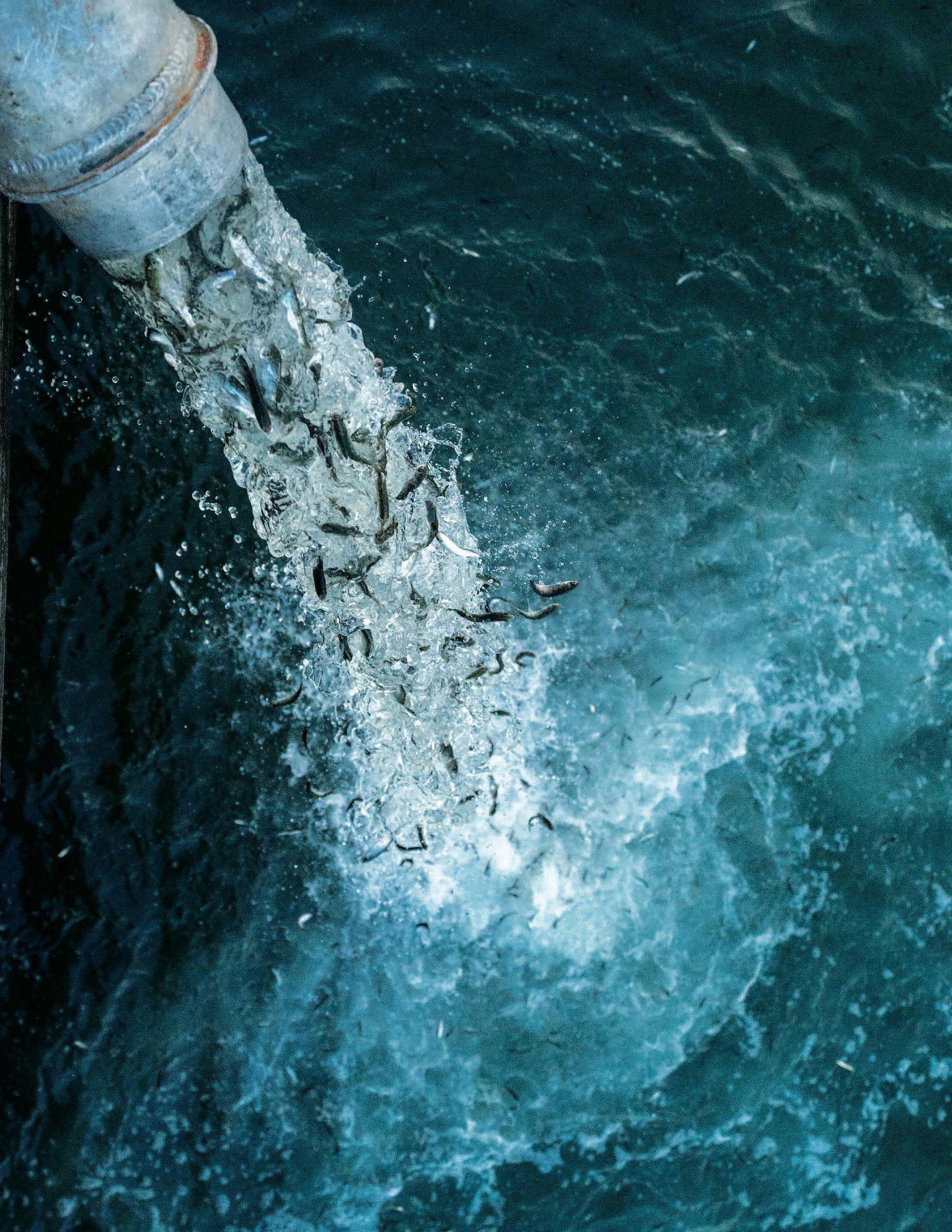 El documental Artifishal muestra con crudeza las condiciones en que se crían los ejemplares de salmones que luego se depositan en ríos naturales y amenazan las especies nativas.