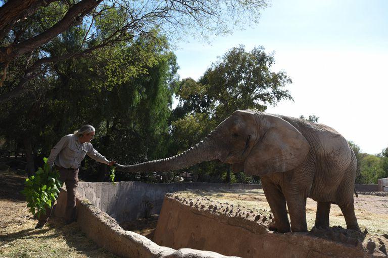 Una estadounidense especialista en paquidermos trabaja con los cuidadores del EcoParque para el traslado seguro de los animales