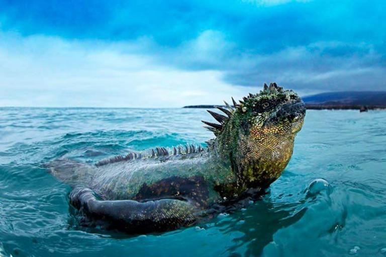 Iguana Marina de las Islas Galápagos