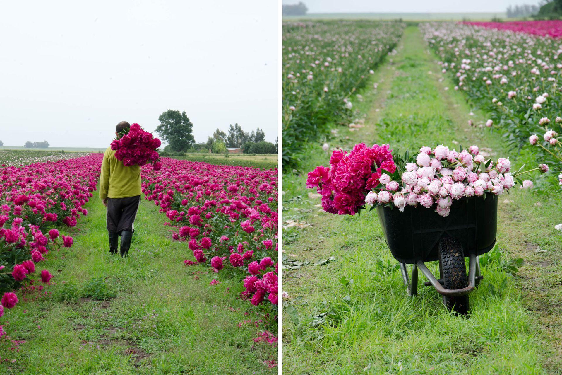 La peonía es una herbácea perenne de origen asiático. La cosecha se realiza a mano, flor por flor, y en la Argentina se da entre octubre y fines de noviembre.