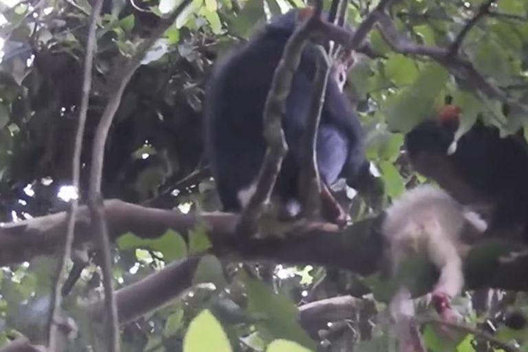 El brutal asesinato de una cría albina y los infanticidios entre chimpancés