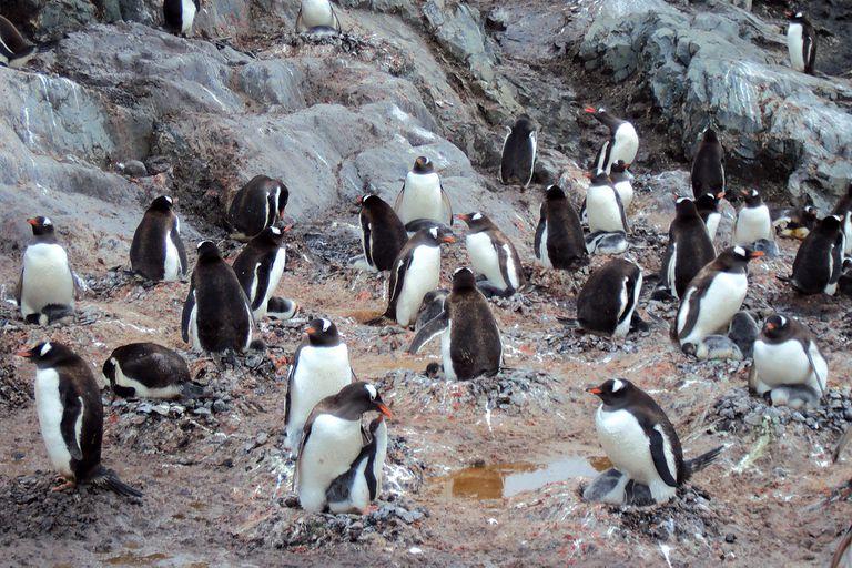 Científicos hallaron microplásticos en la dieta de los pingüinos de la Antártida
