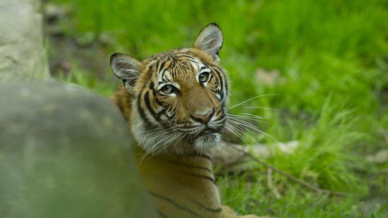 Un tigre mató a una cuidadora en el zoológico de Zúrich