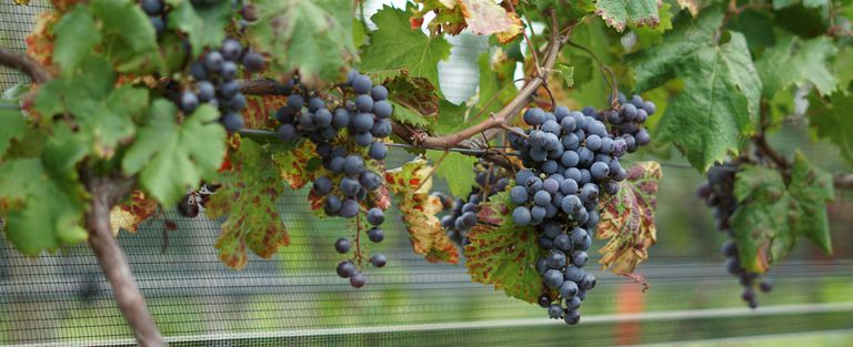 Entre Ríos vuelve a producir vino después de 60 años de prohibición