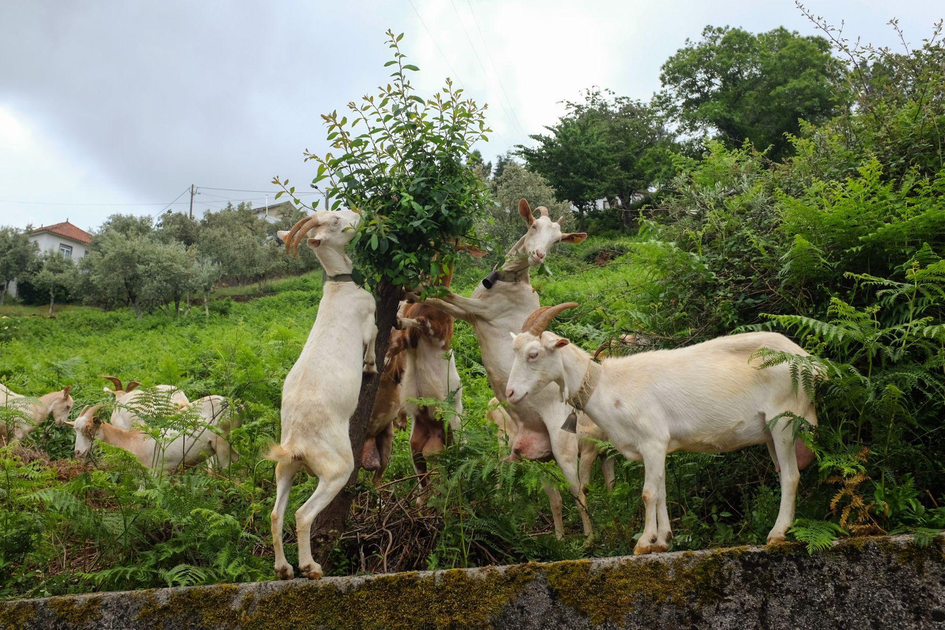 Cabras en la región Norte de Coimbra, Portugal