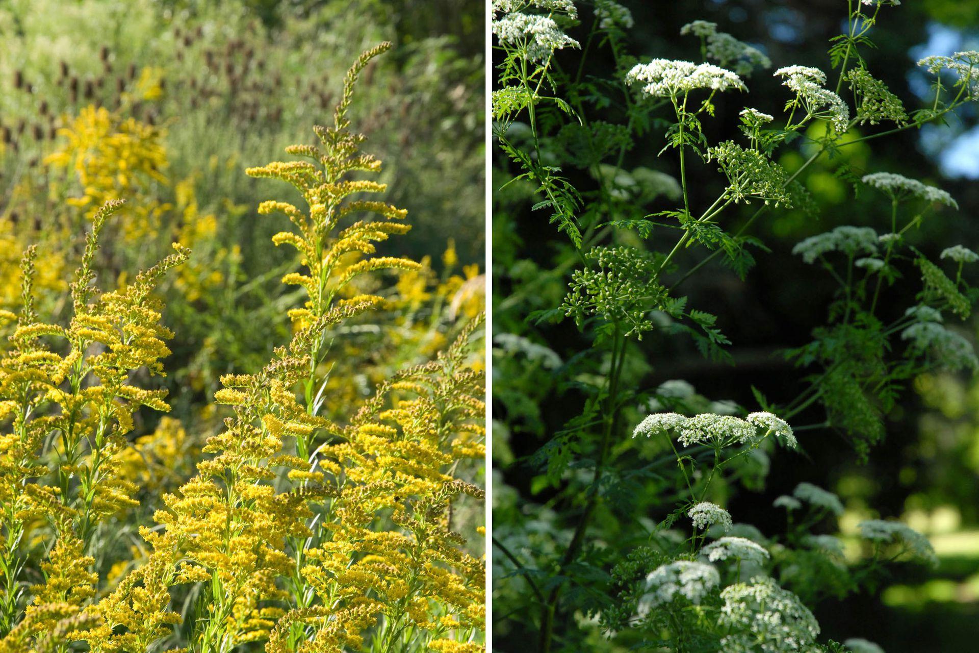 Izquierda: Solidago chilensis (vara de oro). Planta de tallos erguidos. Sus flores se presentan en racimos terminales de color amarillo fuerte. Florece en verano avanzado y se multiplica fácilmente por semillas. Derecha: Ammi majus (falsa biznaga). Planta de tallos erguidos y muy ramificados que pueden llegar a medir 1 m de altura. Tiene hojas alternas y sus flores son blancas, agrupadas en inflorescencias y aparecen en verano. Se multiplica por semillas.