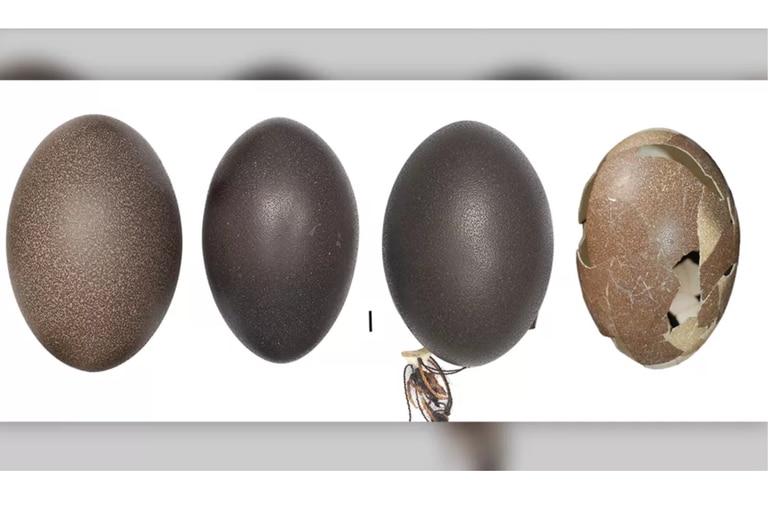 La comparativa del huevo de un emú continental, un emú de Tasmania, un emú de Canguro Island y un emú de King Island