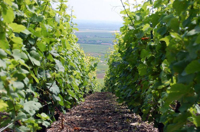 Viñedos de la región de Troyes - Champagne.