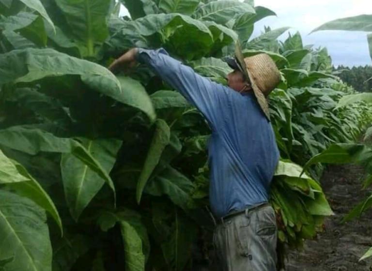 La producción de tabaco tiene vital importancia en las economías regionales de provincias como Misiones, Salta y Jujuy