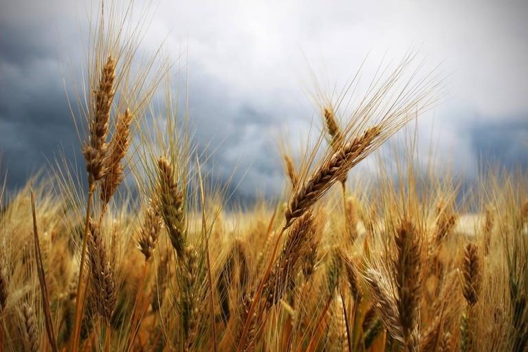 Los campos de trigo cada vez se fertilizan con más cantidad de nitrógeno y esta práctica puede estar directamente vinculada con el incremento de la alta prevalencia de la celiaquía, una afección humana autoinmune. Según un nuevo estudio, que no descarta otros factores, el exceso de nitrógeno para fertilizar transfiere al grano y a la harina del trigo más gliadina, una proteína que interviene en la formación del gluten