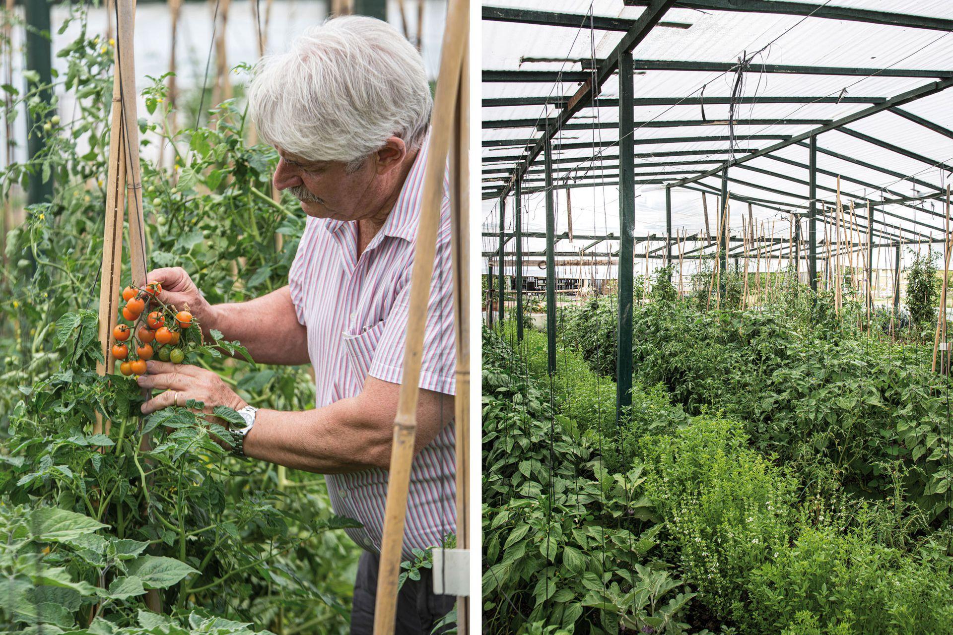 """En el invernadero se adelantan los tomates cherries de variedades muy diversas; en la foto, uno """"botón de oro"""" (izquierda). Albahacas, común y de hoja chica, y unos tomatitos Physalis 'Ground Cherries' que vienen envueltos en una bolsita (derecha)."""