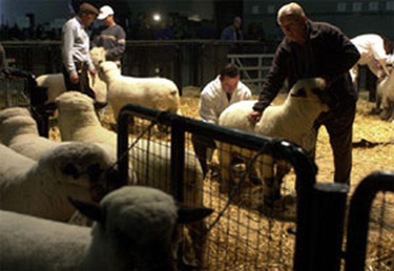 Se viene la expo ovina en la Rural