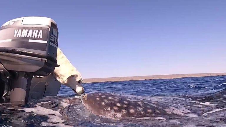 El conmovedor encuentro entre un perro y un tiburón ballena que se volvió viral