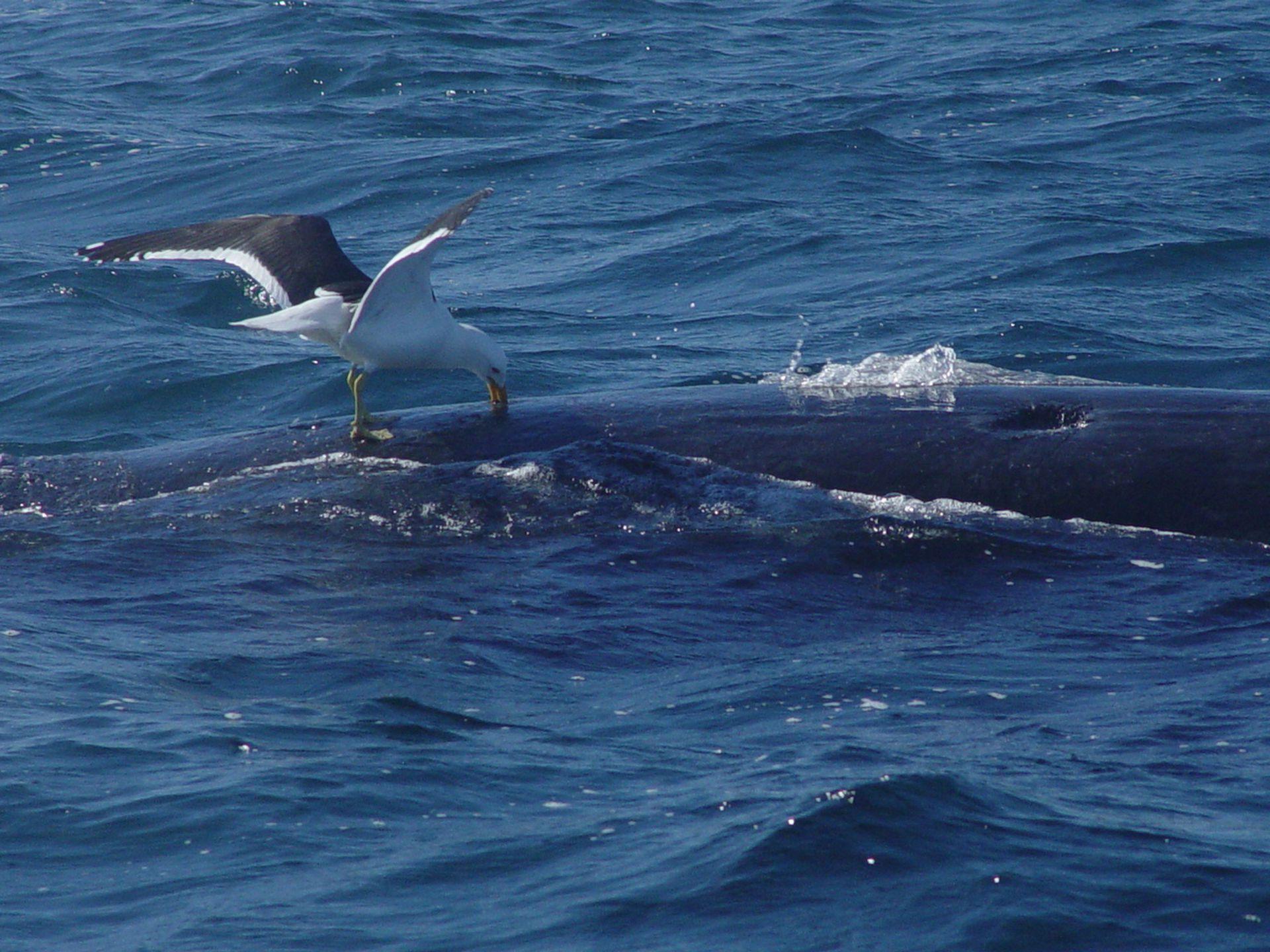 Este fenómeno, que los expertos vienen estudiando hace tiempo, podría afectar seriamente la salud de los ballenatos e incluso aumentar su mortandad.