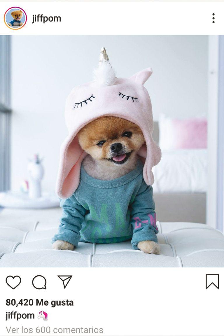 Parece un peluche, pero es real: de raza pomerania,Jiffpom es el perro con más seguidores