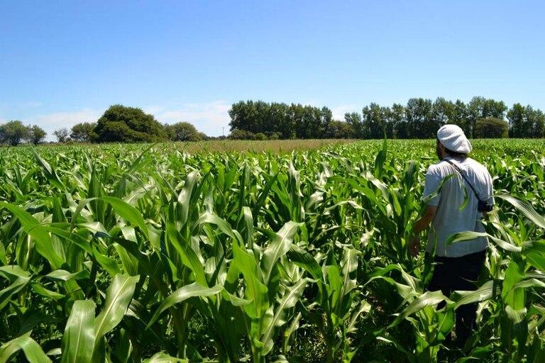 Plantaciones de maíz no transgénico en Anguil, La Pampa Foto: Viaje por la Soberanía Alimentaria.