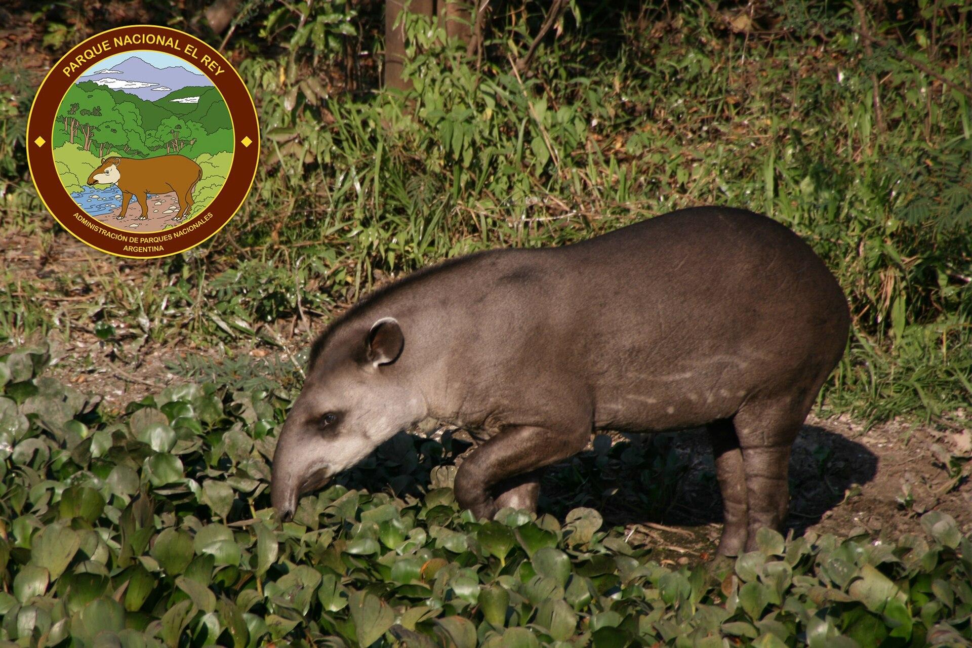 El tapir aparece en el logo del PN Rey y se caracteriza por adaptarse fácilmente a nuevos ambientes y dietas.
