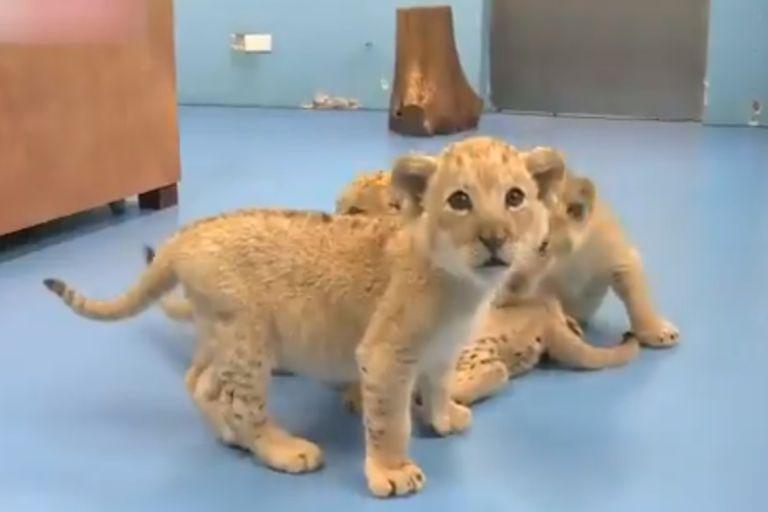 Con su exótico pelaje, las crías de tigre dorado nacidas en China son el resultado de una mutación genética inusual. En el último censo, solo se encontraron 30 ejemplares en el mundo